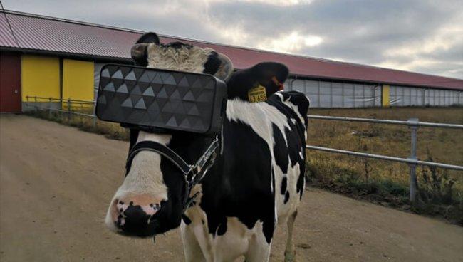 В России для коров создали VR-очки. Животным показывают виртуальное летнее поле - Игры